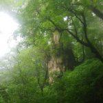 雨で潤う縄文杉☆